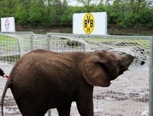 Elefante Nelly Champions League